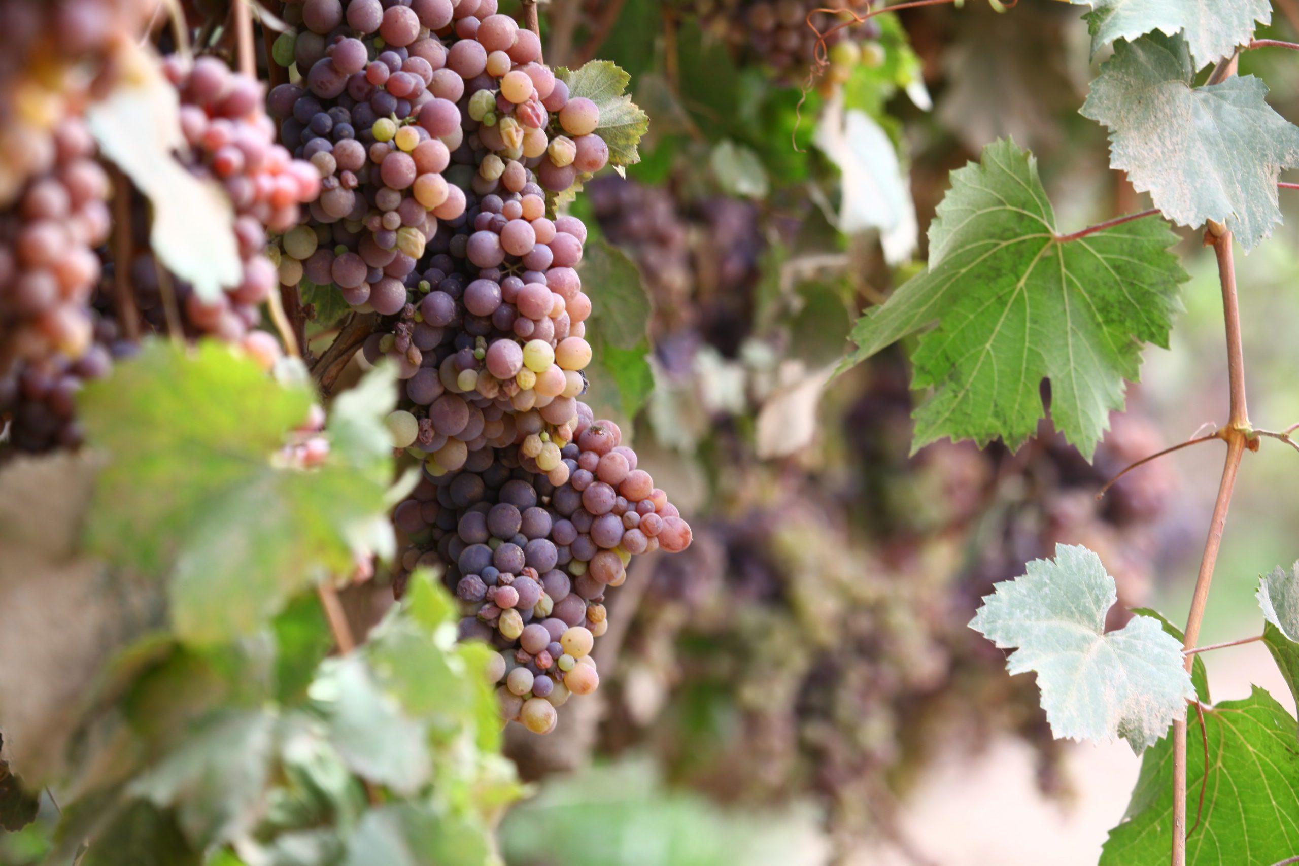 Pisco Grapes_Pisco Porton