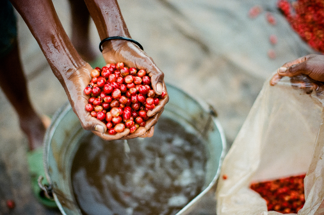 Coffee pre-selection at Long Miles is done by floating coffee cherries in buckets full of water. Lower-quality coffee cherries float to the top and are rejected, while the denser and better-quality cherries sink.