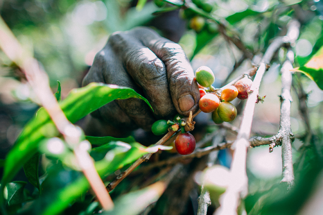 Teaching farmers when and how to harvest is key to elevating the quality of Long Miles' coffees.