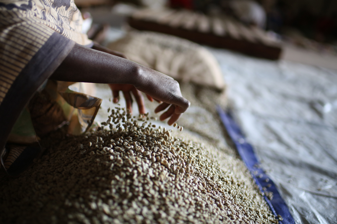 Long Miles coffees are hand-sorted seven times throughout the drying process.