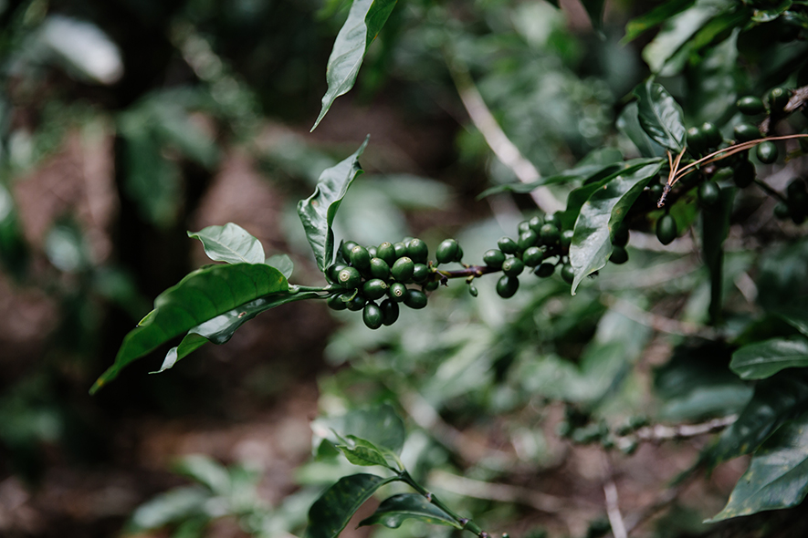 Coffee trees are perennials, and the fruit goes through progressive stages of maturation before ripe. These green coffee cherries are post-flowering and will soon turn bright red and be ready to pick.