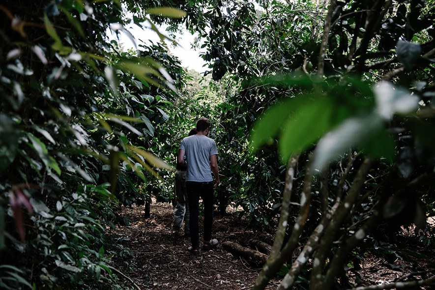 Hidden beneath the canopy of the jungle, coffee trees stand in stark contrast to the others. Their long, waxy leaves give them away.