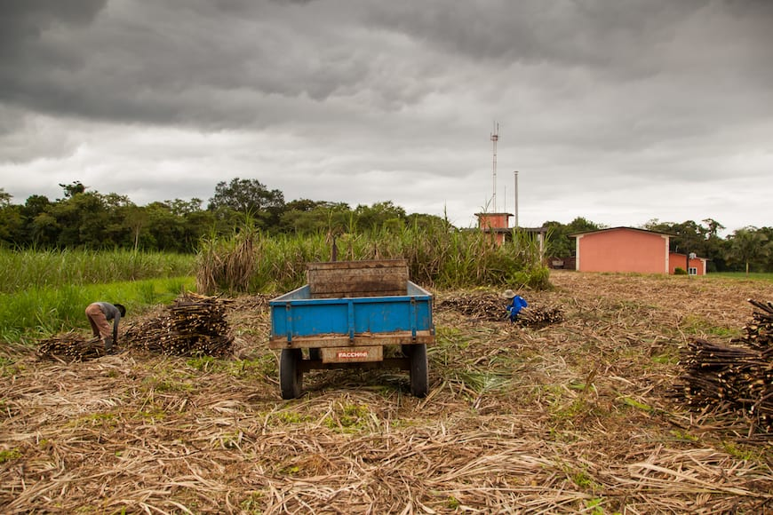Many cachaça producers stress the urgency of getting freshly cut cane to the distillery.