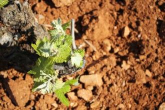 carinena grape-horizontal-crdt emma janzen