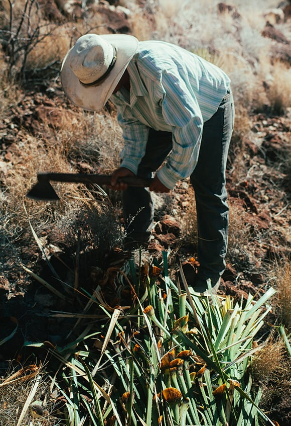 Sotol production, like tequila and mezcal, is a laborious process, with producers harvesting plants from the wild by hand.