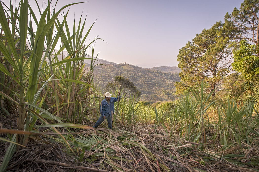 Jose Luis Carrera cuts and cleans sugarcane grown on his land to make the rum.