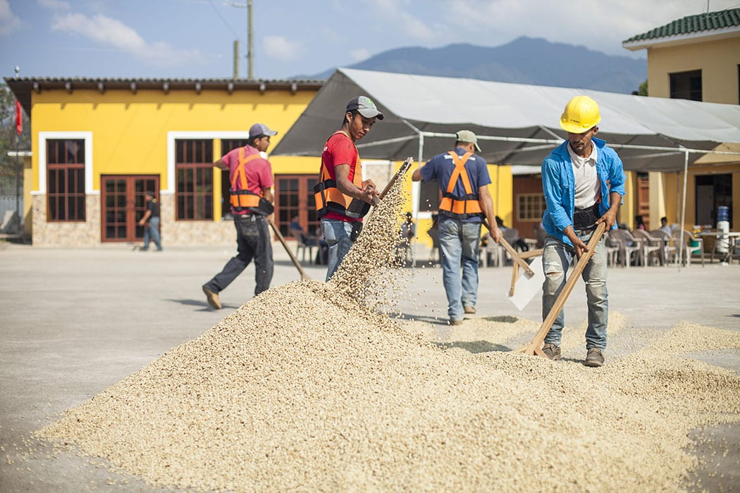 Farmers raking drying coffee on one of the drying patios in the center of the COCAFCAL processing facilities.