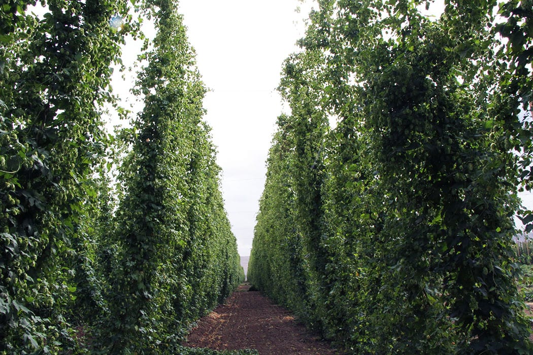 Yakima Valley grows about 75% of America's hops.