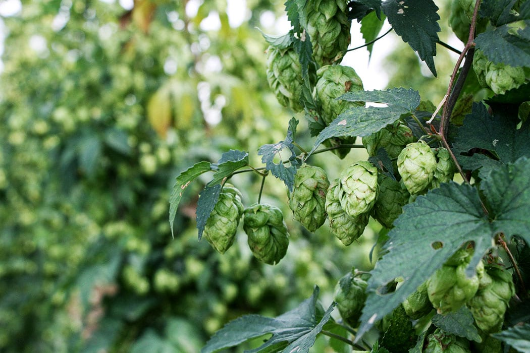 During harvest season, Yakima's entire hop crop is removed from the fields and processed before hitting breweries.
