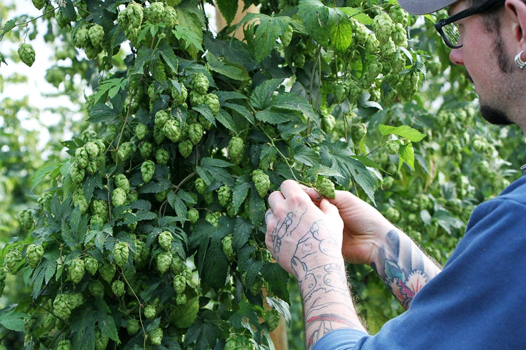 In order to check the quality of a hop, brewers pick cones straight from the plant to crush up and smell.