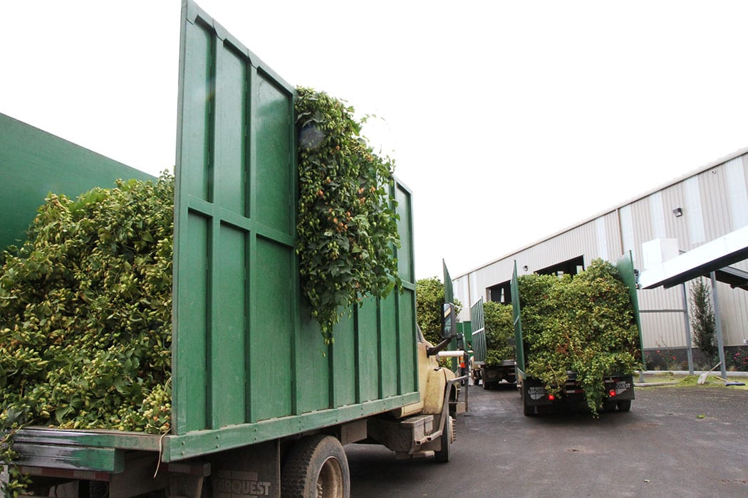 Hops enter production facilities by the truckload during harvest, when operations tend to go 24/7.