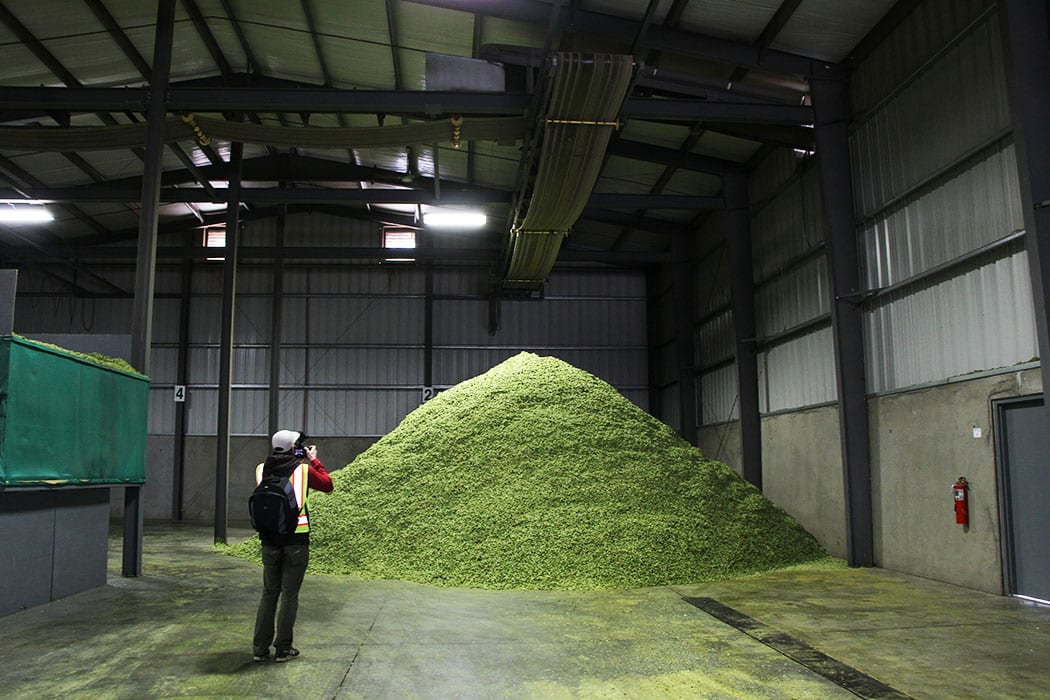 Once dried, hops are moved into large warehouses and left to cool before packaging.