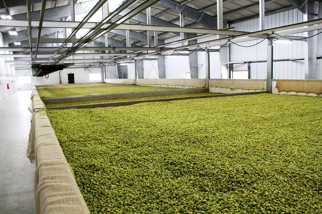 After the cones are stripped from the rest of the plant, they are sent to drying rooms like this one.