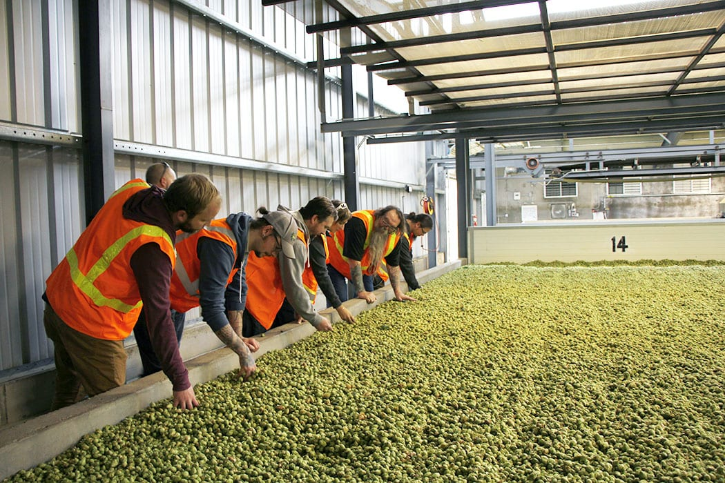 The Founders crew feels how warm the drying hops are at Roy Farms.