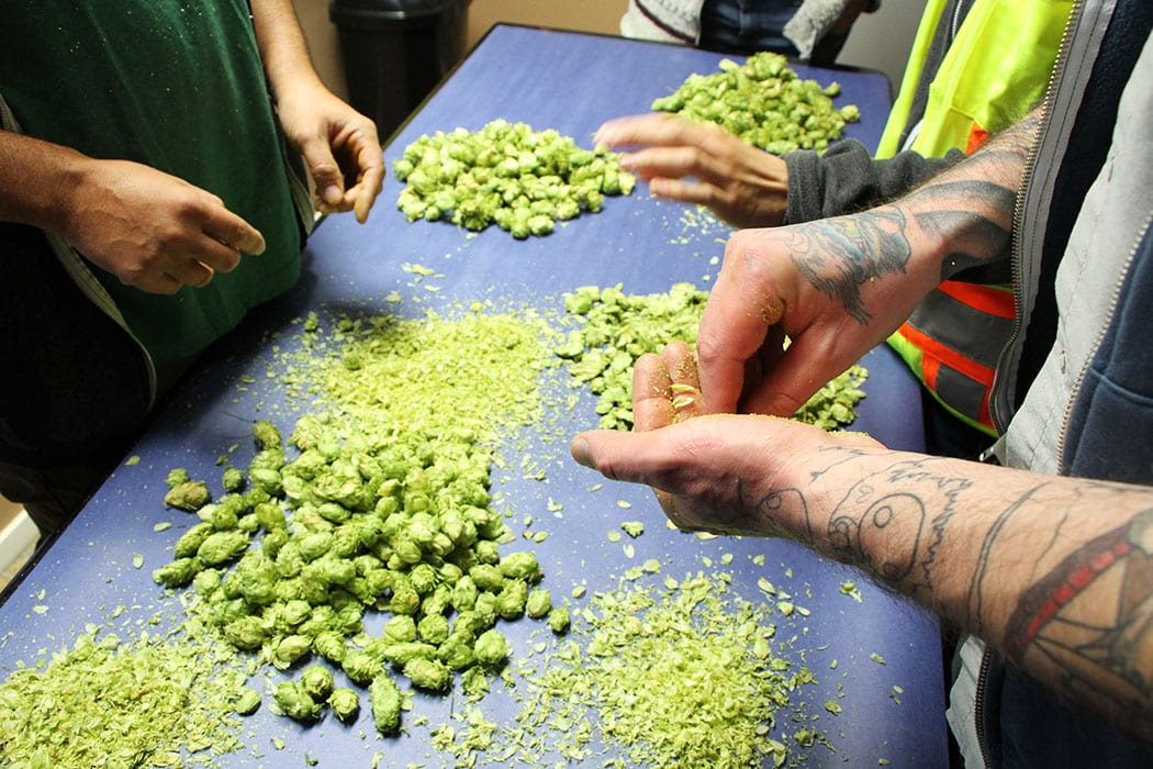 The Founders Brewing team crushes dried Cascade hops at CLS Farms.
