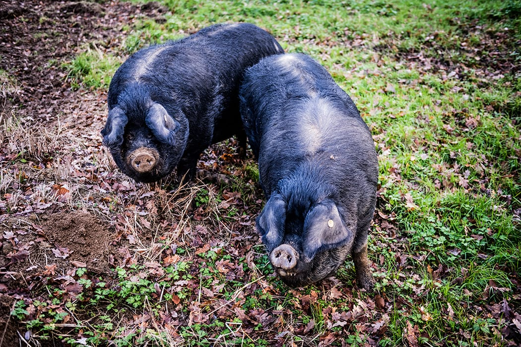 Gascony's black pigs—porc gascon—are a rare heritage breed and have contributed to the region's reputation as a gastronomic destination.