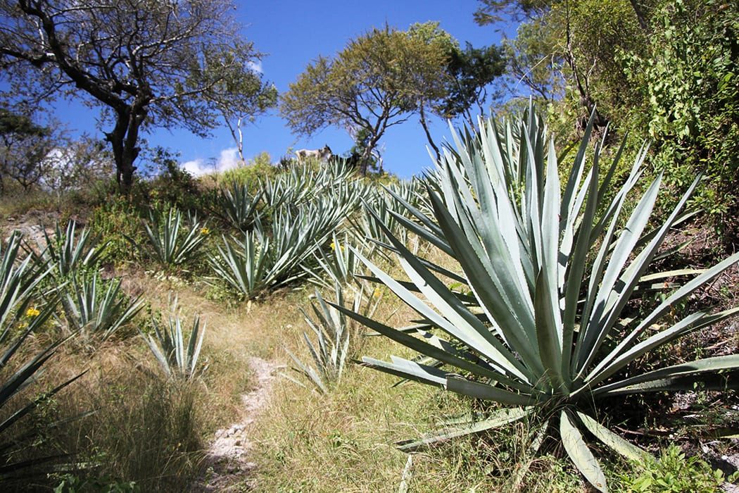 mezcal field blends